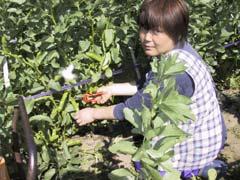 宇井修司 ソラマメの収穫